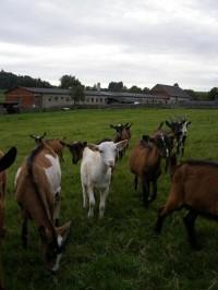 Kůzlata na pastvě u kozí farmy