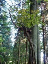 Lesy pod Makytou-tenhle buk byl zasažený bleskem, přesto z pahýlu znovu pučí nový život