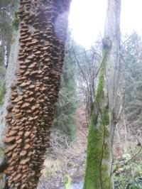Stromová houba V Dešné u potoka, po cestě na Beňadín