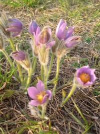 Strejčkův lom bývá na jaře plný kvítků koniklece