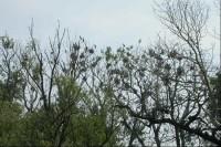 Hnízdiště kormoránů velkých na Křivém Jezeře