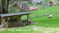 Kulíškovou stezkou - ovečky