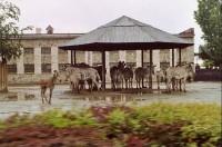 zebry: zebry při dešti