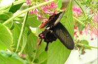Motýl: v motýlí farmě