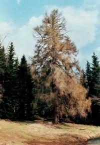 zbytek původního šumavského porostu