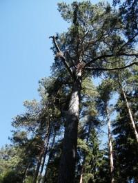 ale vlastně můžeme být rádi, že památný strom stojí