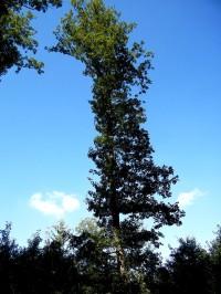 jak to bylo, vysoký jako topol, ale štíhlý, to by ten topol musel bý spíš dub, tokle je dub