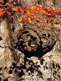 Křemešník 2: Kmen dubu pod rozhlednou.