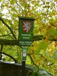 Platan javorolistý v zámeckém parku v Lysé nad Labem