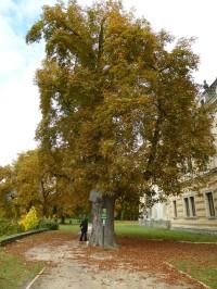 Jírovec maďal v zámeckém parku v Lysé nad Labem