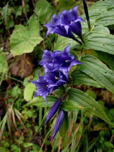 horská květena