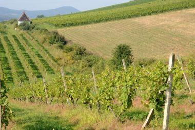 Litoměřice - vinice