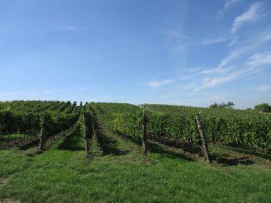 fotka k příspěvku Tour de burčák po vinařských stezkách Znojemska